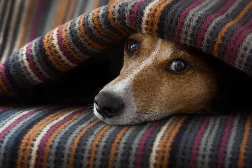 How CBD Oil Is Helping Thousands of Anxiety Ridden Dogs